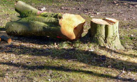 Baumfällungen wegen Trockenheit