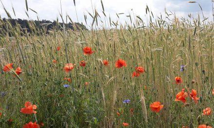Fördermittel für Blühstreifen und Ackerrandstreifen jetzt beantragen