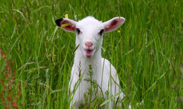 Schafe in Sanssouci