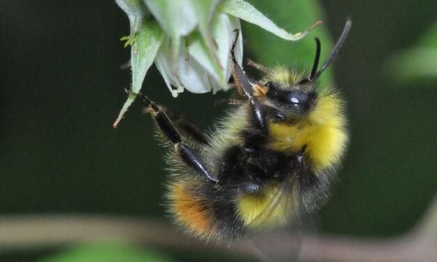 Welche Biene ist das?