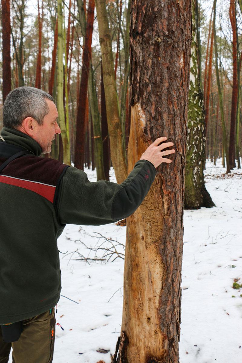 Revierförster Uwe Peschke überprüft den Zustand der Bäume ganz genau, aus ökologischen Gründen lässt er auch mal tote Bäume stehen.