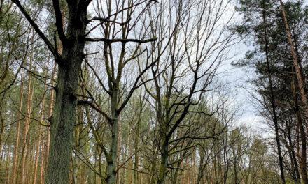 Immer mehr kranke Bäume in Potsdam