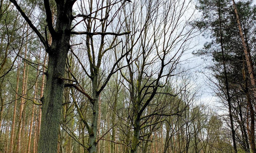 kranke Bäume in Potsdam