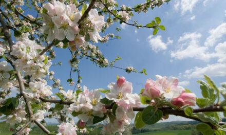 Heute noch einen Apfelbaum pflanzen
