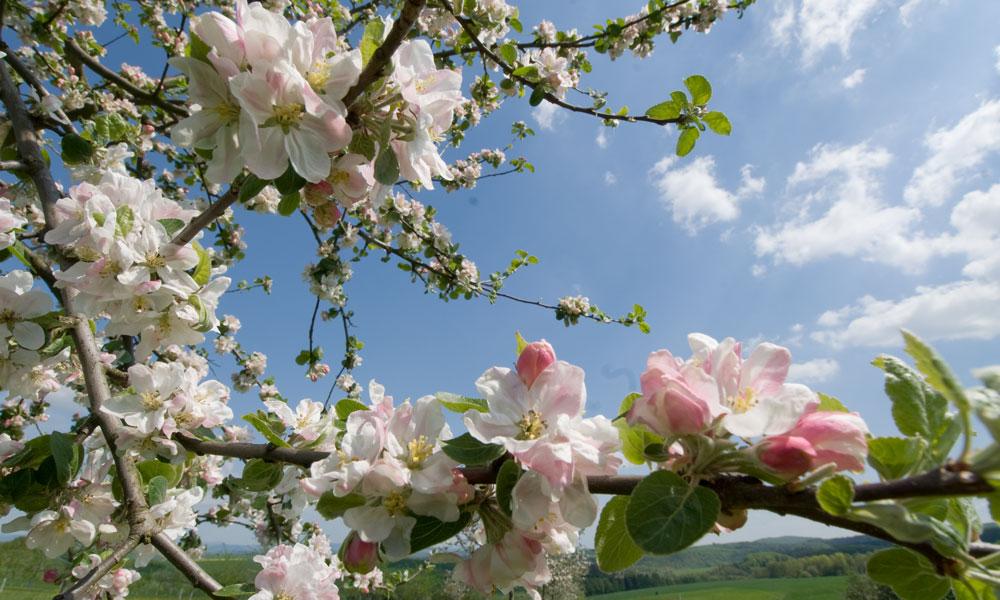 Wunderschöne Apfelbaumblüte