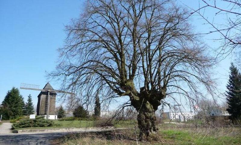 Naturdenkmale in der Landeshauptstadt Potsdam