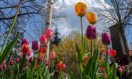 Blütenpracht in Satzkorn